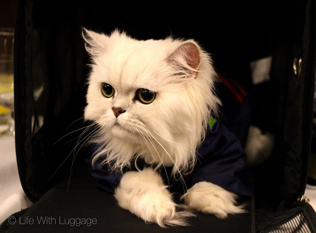 algonquin hotel cat fashion show persian cat